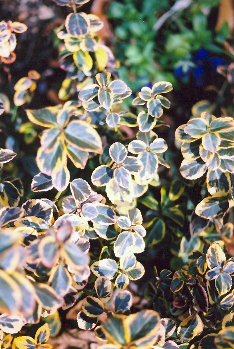 Canadale Gold Wintercreeper (Euonymus fortunei 'Canadale Gold') at Kushner's Garden & Patio