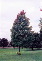 Bowhall Red Maple (Acer rubrum 'Bowhall') at Kushner's Garden & Patio