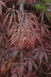 Red Select Japanese Maple (Acer palmatum 'Red Select') at Kushner's Garden & Patio