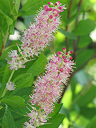 Ruby Spice Summersweet (Clethra alnifolia 'Ruby Spice') at Kushner's Garden & Patio