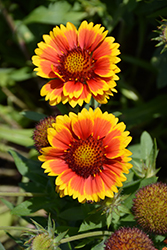 Arizona Sun Blanket Flower (Gaillardia x grandiflora 'Arizona Sun') at Kushner's Garden & Patio