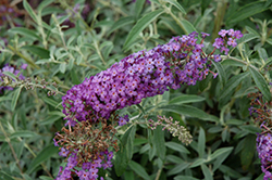 Blue Knight Butterfly Bush (Buddleia 'Blue Knight') at Kushner's Garden & Patio