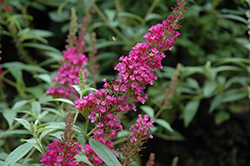 Buzz™ Hot Raspberry Butterfly Bush (Buddleia davidii 'Buzz Hot Raspberry') at Kushner's Garden & Patio