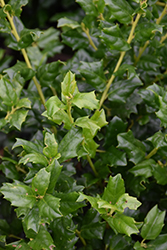 China Girl Meserve Holly (Ilex x meserveae 'China Girl') at Kushner's Garden & Patio