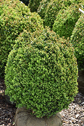 Dwarf English Boxwood (Buxus sempervirens 'Suffruticosa') at Kushner's Garden & Patio