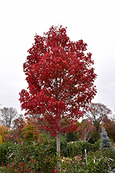 October Glory Red Maple (Acer rubrum 'October Glory') at Kushner's Garden & Patio