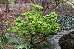Mikawa Yatsubusa Japanese Maple (Acer palmatum 'Mikawa Yatsubusa') at Kushner's Garden & Patio